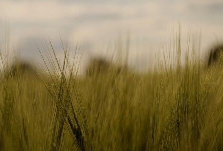 two barleys